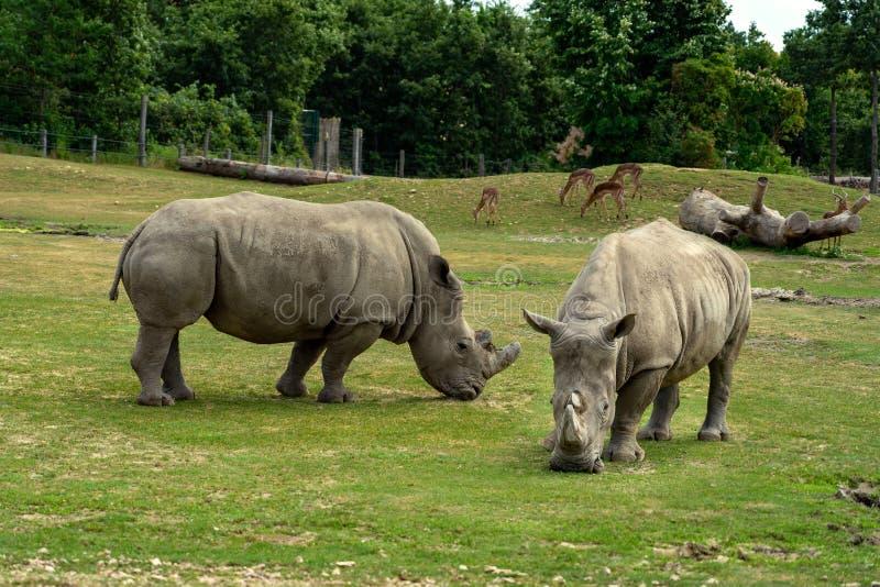 Svart noshörning i zoo i den Veszprem Ungern fotografering för bildbyråer