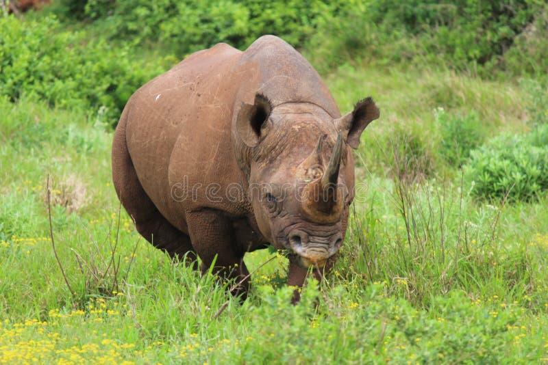 Svart noshörning på Addo Elephant National Park - Sydafrika royaltyfri foto