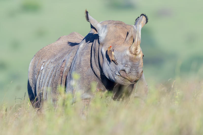 Svart noshörning som förblindas av röda fakturerade Oxpecker arkivfoton