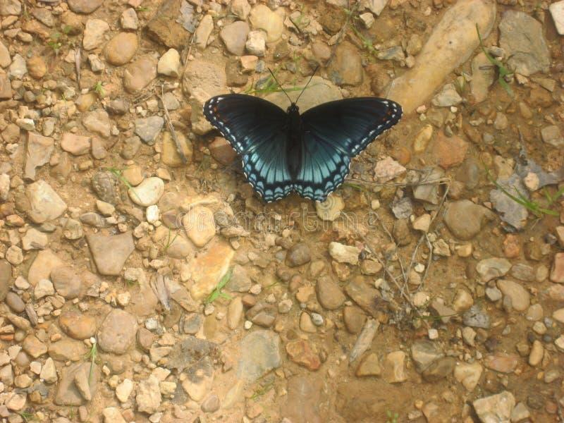 Svart och blå fjäril i nordliga Mississippi arkivfoton