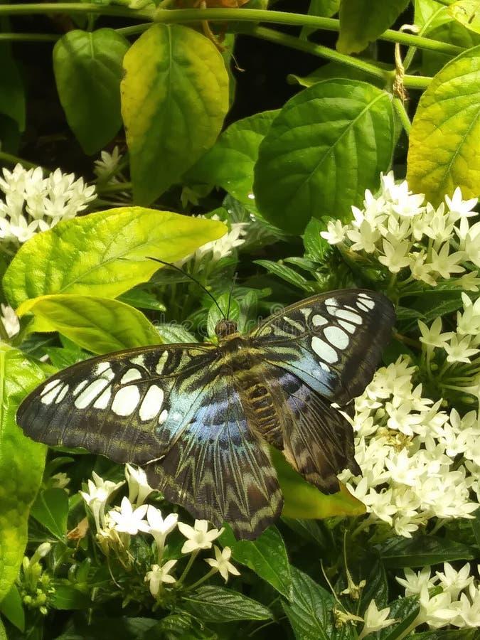 Svart och blå fjäril på en växt royaltyfria foton