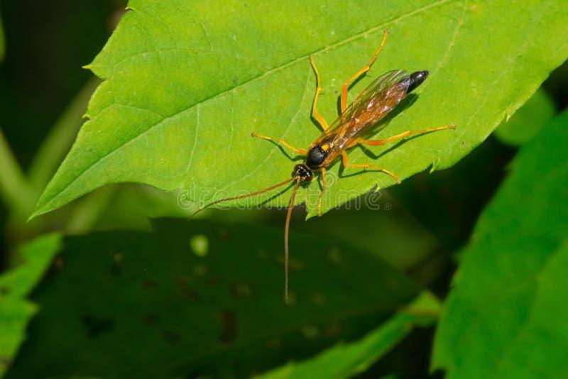 Svart-och-guling gyttjaDauber Wasp - Sceliphroncaementarium arkivbild