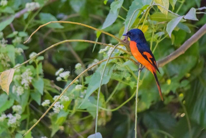 Svart och orange fågel arkivfoton