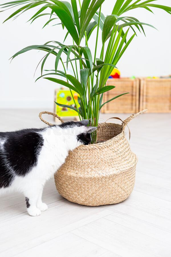 Svart och vit katt gömde huvudet i en korgen med en blomma Lodrätt foto arkivfoton