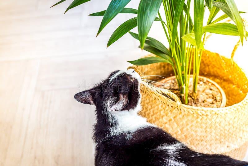 Svart och vit katt sniffar en grön växt i en korgkorg ledigt utrymme royaltyfria foton