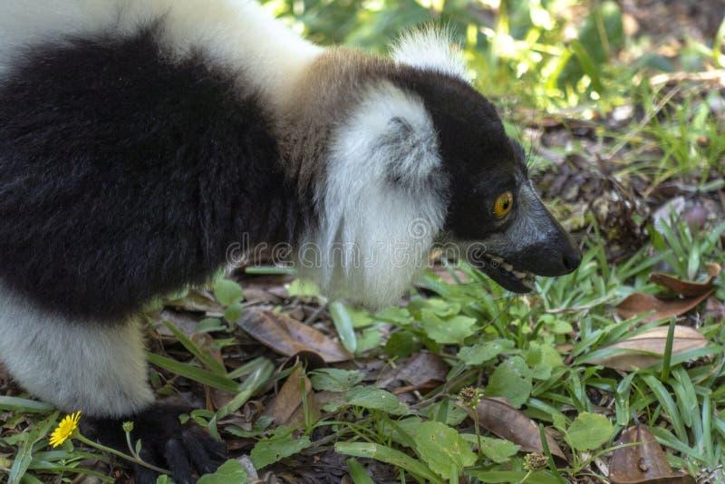 Svart och vit lårbenad lemur Varecia Variegata Endemic Madagascar royaltyfria bilder