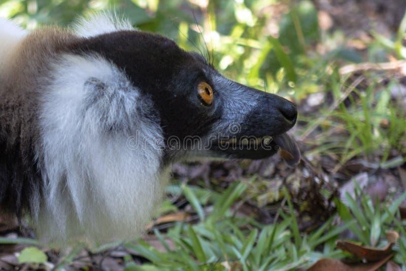 Svart och vit lårbenad lemur Varecia Variegata Endemic Madagascar royaltyfri fotografi