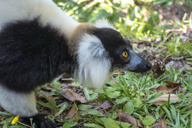 Svart och vit lårbenad lemur Varecia Variegata Endemic Madagascar royaltyfri foto