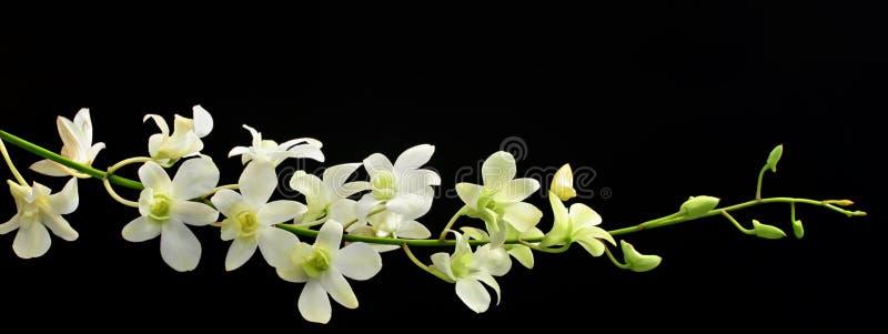 svart orchidspray royaltyfri foto