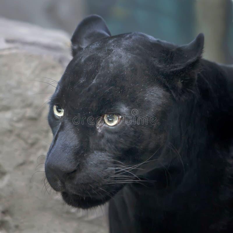 svart panter royaltyfri fotografi