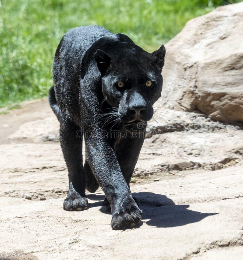 Svart panter också som är bekant som jaguar royaltyfri fotografi