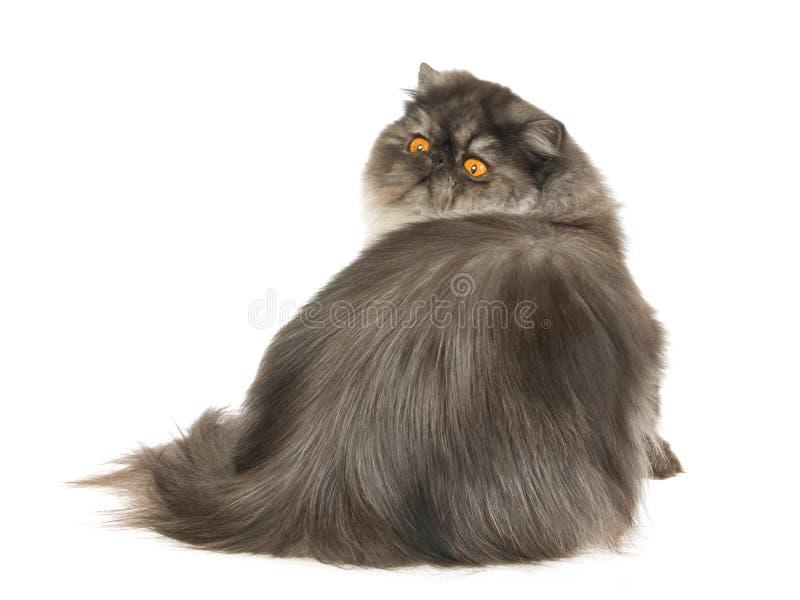 svart persisk rökwhite för bakgrund royaltyfri foto