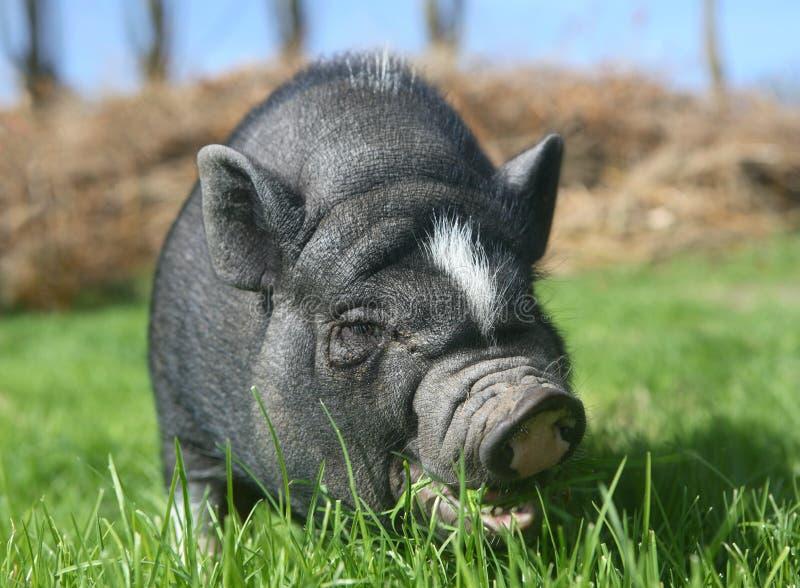 svart pig royaltyfria foton