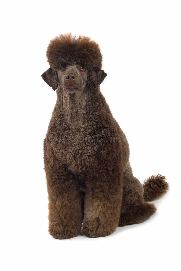 svart poodle royaltyfri bild