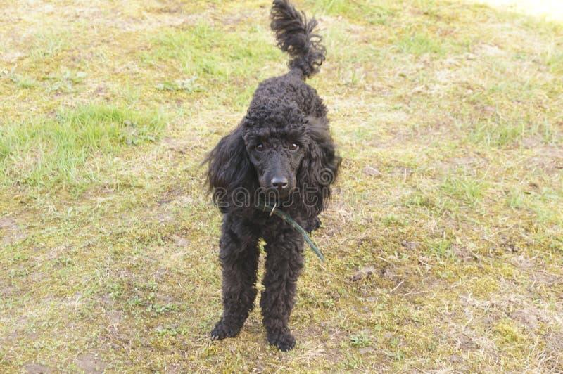 svart poodle royaltyfri fotografi