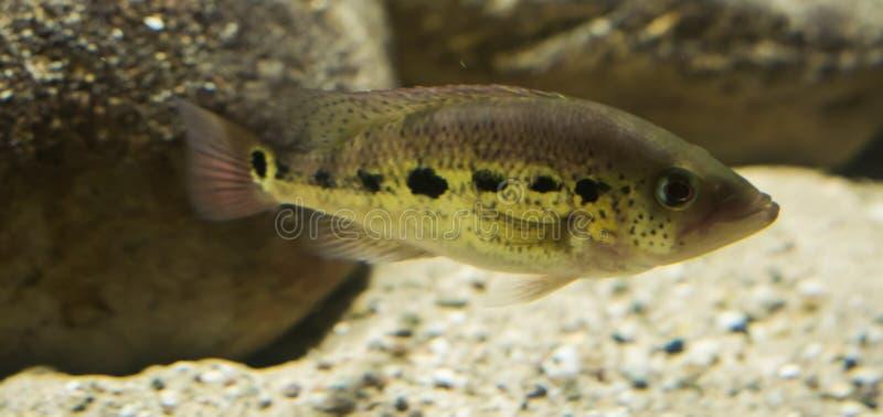 Svart prickig tilapiacichlidfisk, en tropisk fisk från Afrika royaltyfri fotografi