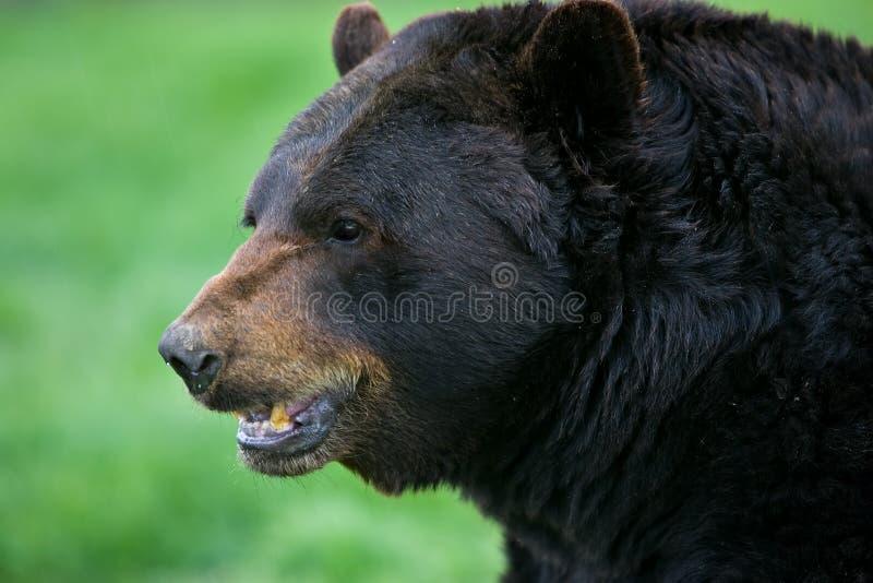 svart profil för björn
