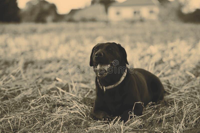 svart retriever fotografering för bildbyråer