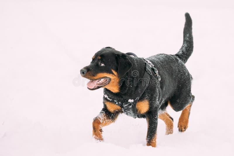 Svart Rottweiler Metzgerhund hund som går under utbildning Vinter royaltyfria bilder