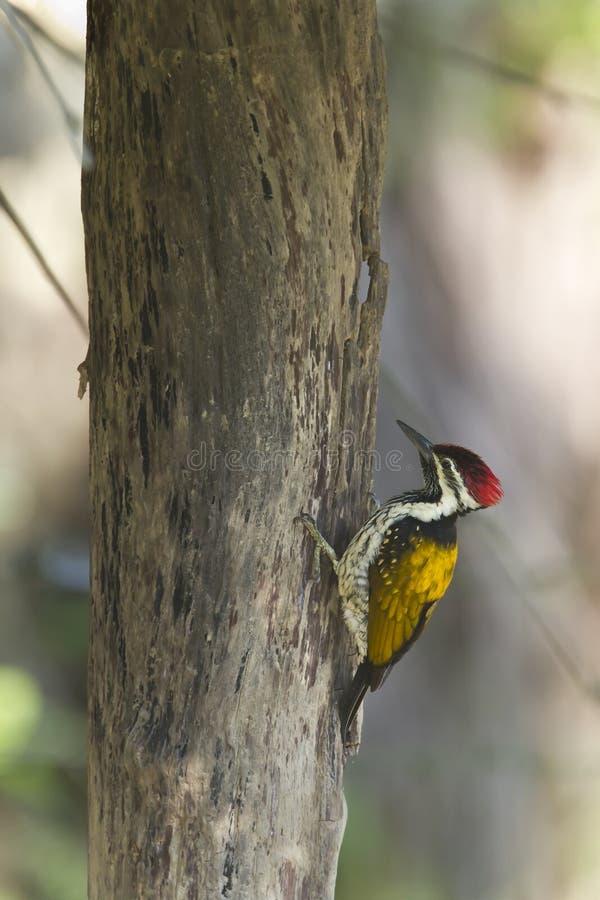 Svart-rumpedflamebackfågel i Nepal fotografering för bildbyråer