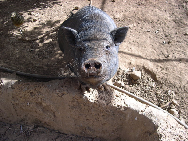 svart seende pig dig royaltyfria bilder