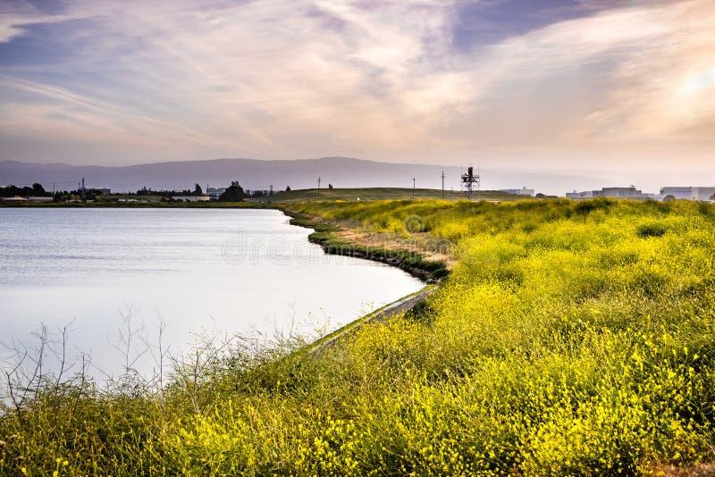 Svart senapsgult Brassicanigra som blommar på shorelinen av ett damm; färgrik solnedgånghimmel; San Jose södra San Francisco Bay  arkivbilder