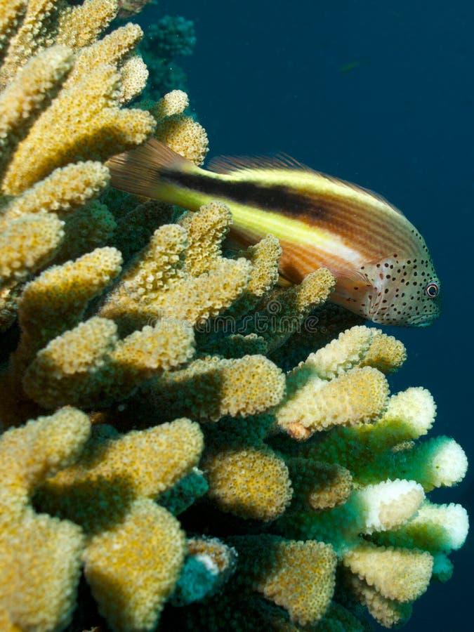 Svart-sidHawkfish arkivbilder