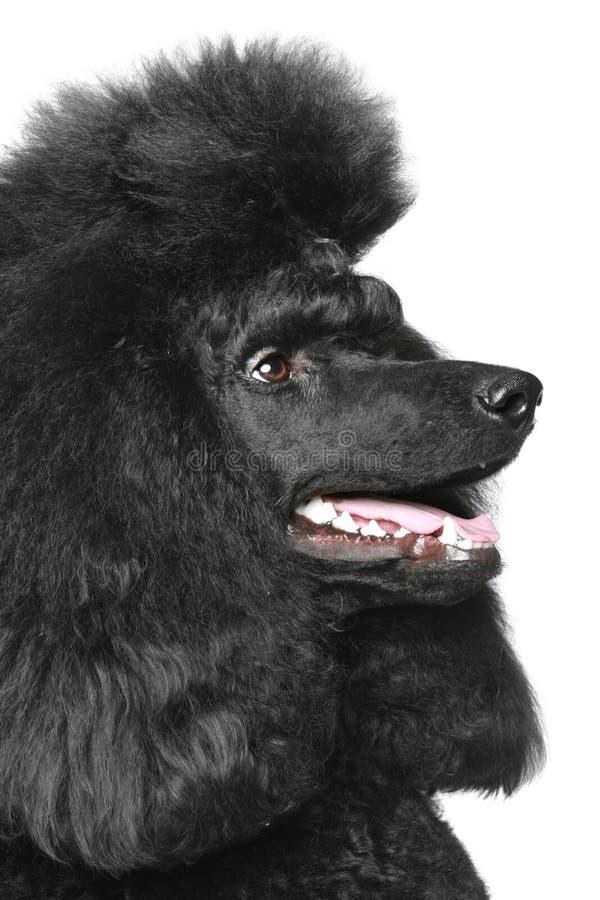 svart sikt för normal för poodleståendesida fotografering för bildbyråer