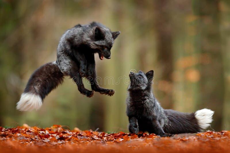 Svart silverräv Hoppar röd räv som två spelar i den djura höstskogen, i nedgångträ Djurlivplats från den lösa naturen för vändkre royaltyfri fotografi