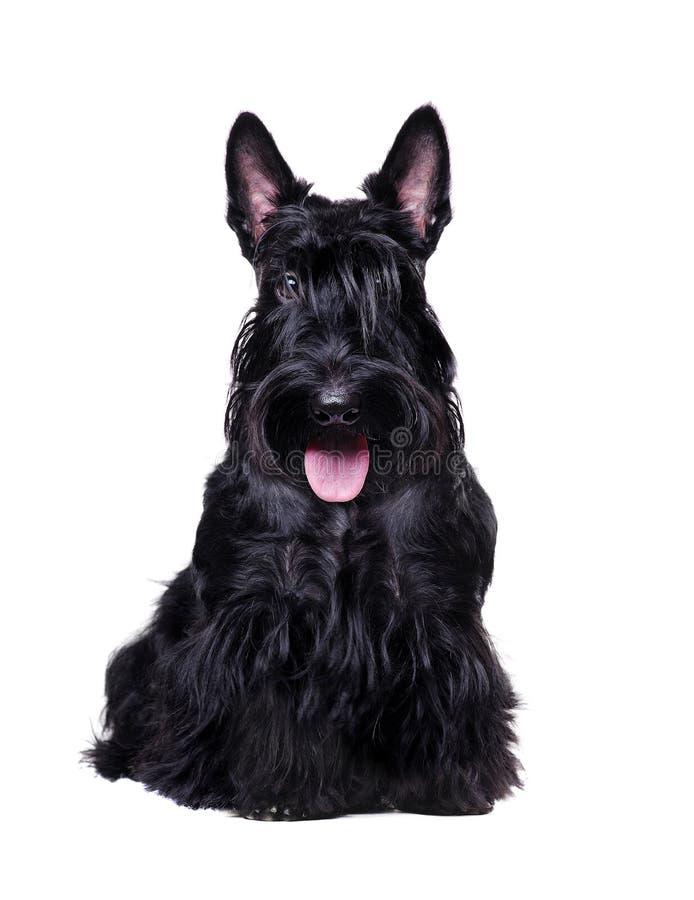 Svart skotsk terrier som isoleras på vit royaltyfria bilder
