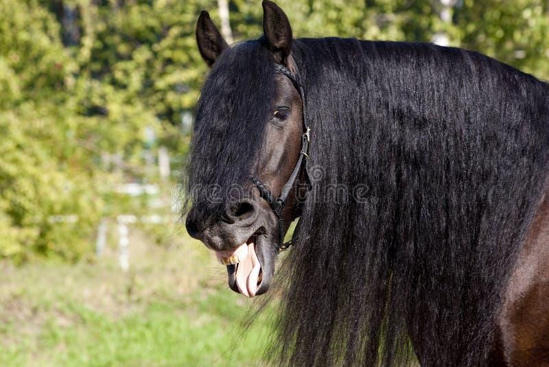 svart skratta för frisianhäst royaltyfri foto
