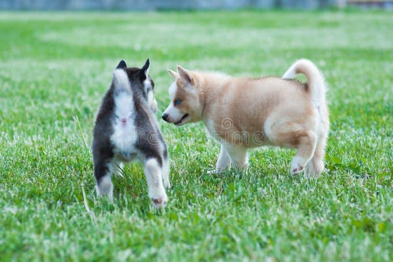 Svart skrovlig valp och brun vän, hundkapplöpning på gräset arkivfoto