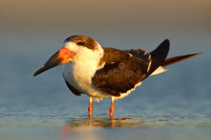 Svart skumslev, Rynchops Niger, härlig tärna i vattnet Svart skumslev i den Florida kusten, USA Fågel i naturhavshabitaen royaltyfria bilder