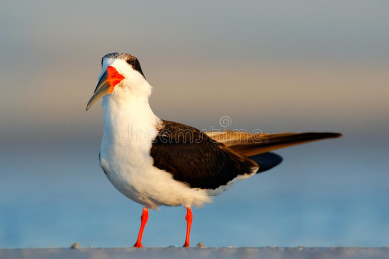 Svart skumslev, Rynchops Niger, härlig tärna i vattnet Svart skumslev i den Florida kusten, USA Fågel i naturhavshabitaen fotografering för bildbyråer