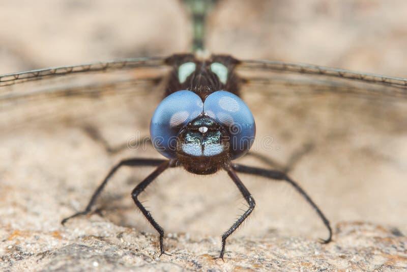 svart slända med blåa ögon royaltyfri fotografi