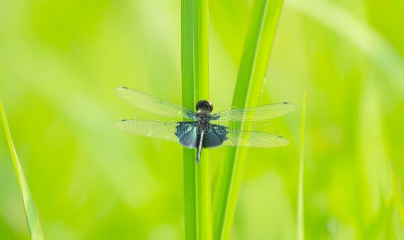 Svart slända på grönt gräs royaltyfria foton