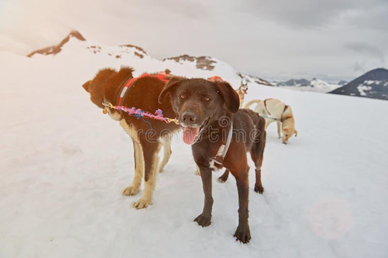 Svart sledding hund royaltyfria foton