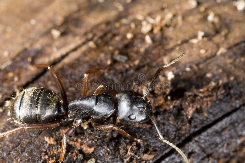 svart snickareträ för myra royaltyfri foto