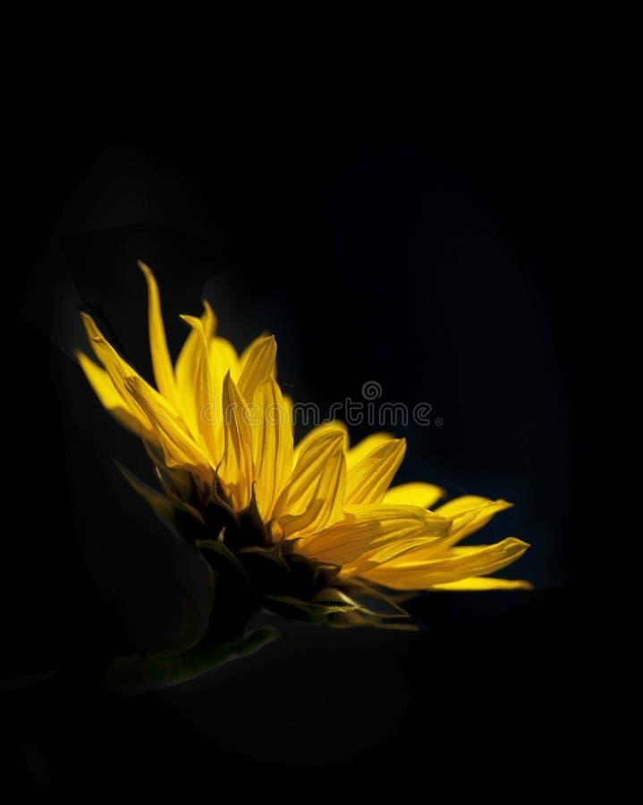 svart solros för bakgrund royaltyfri bild