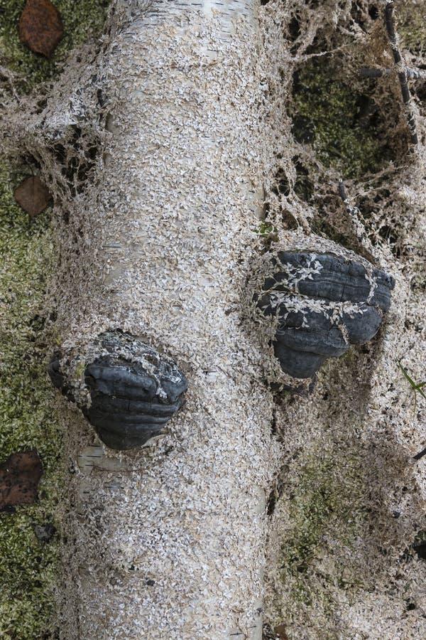 Svart som ruttnas i träskpolyporen på stammen av en björk russia för arkhangelskregionflod syuzma Rysk federation fotografering för bildbyråer