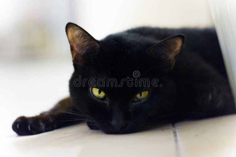 svart sova för katt royaltyfri bild