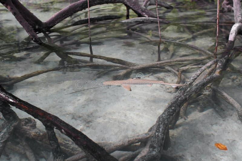 Svart-spets revhaj i mangrovarna. royaltyfria foton