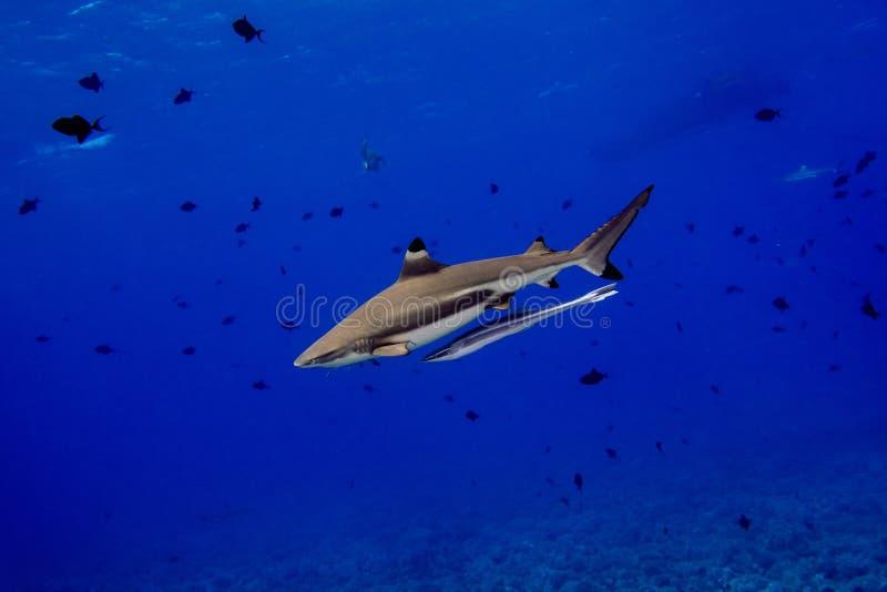 Svart spetshaj undervattens- Polynesien royaltyfri bild
