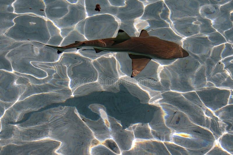 Svart spetshaj undervattens- Polynesien fotografering för bildbyråer