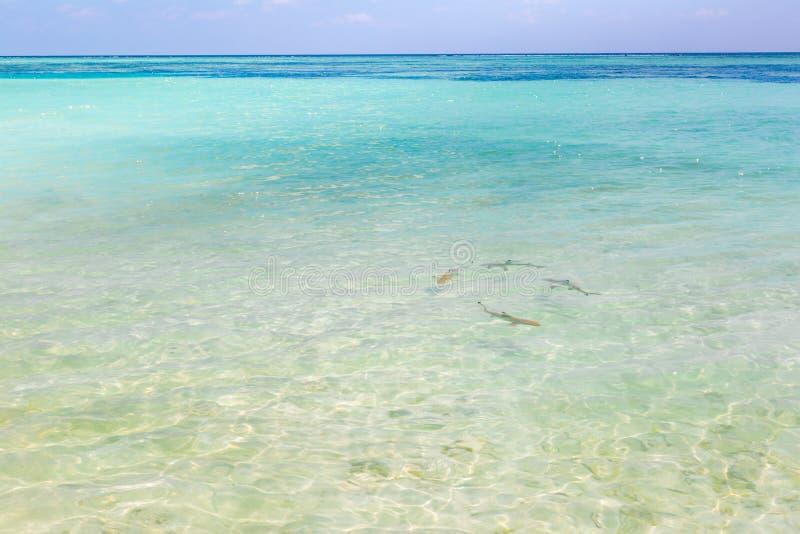 Svart spetsrevhaj i Maldiverna ursprunglig vattenjakt i grupp royaltyfri bild