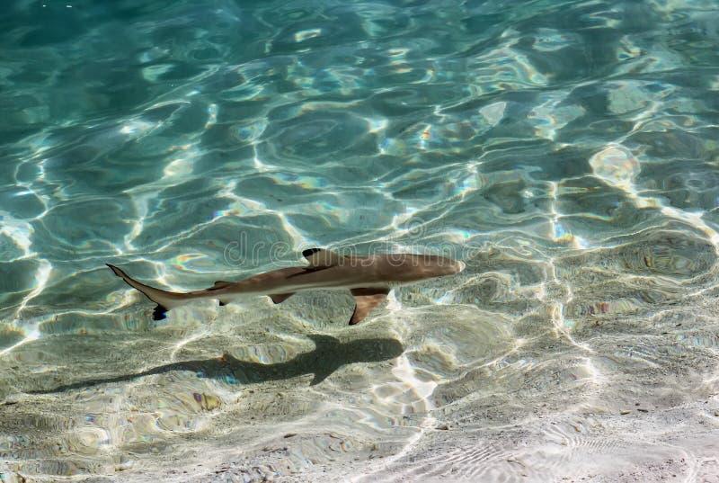 Svart spetsrevhaj, Maldiverna royaltyfri foto