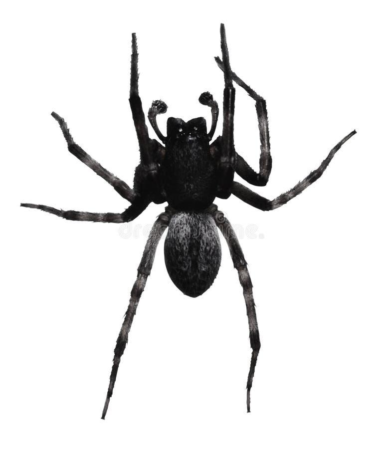 svart spindel royaltyfri fotografi