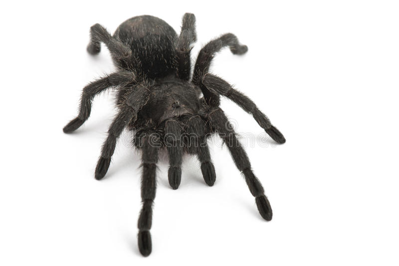 Svart spindel. Tarantel Grammostola Pulchra arkivbilder