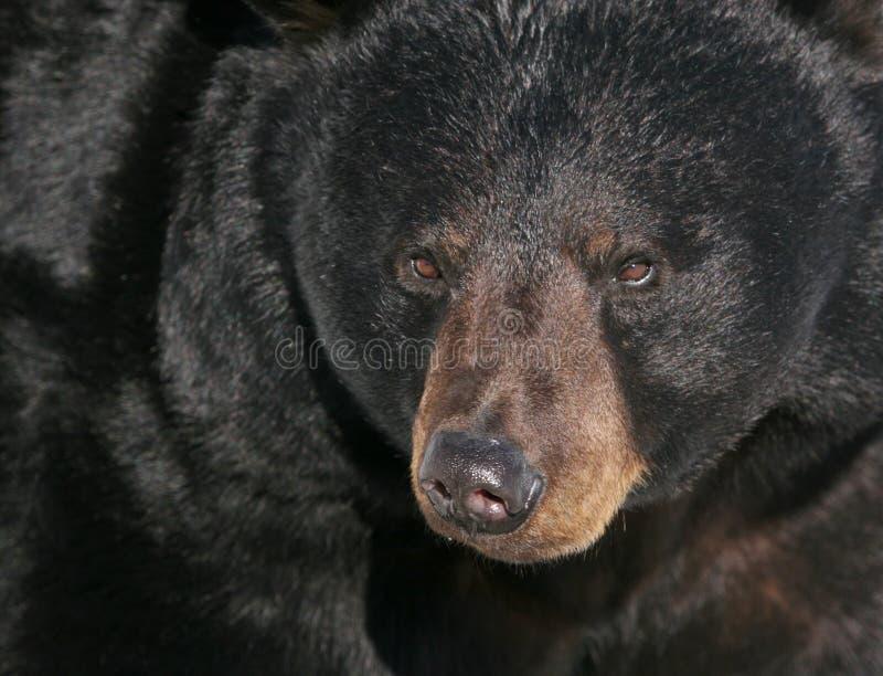 svart stående bear4 arkivfoton