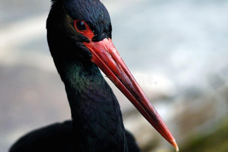 svart stork arkivbilder